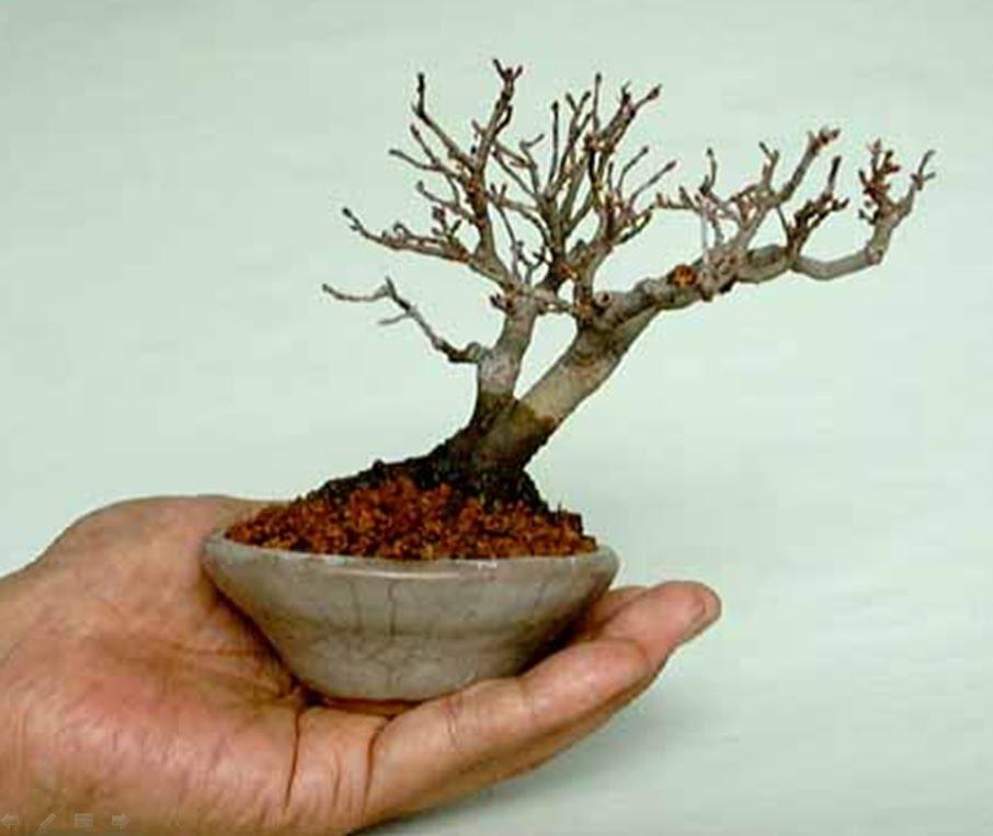 فن تقزيم الأشجار bonsai